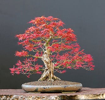 Bonsai tree guide online shop bonsai tree gardener for Piante per bonsai